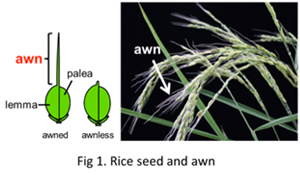 Most Of All Wild Rice Species Have A Spike Like Structure On The Tip Seed Called Awn Fig1 Is Composed An Elongated Vascular Bundle In